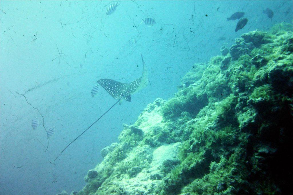 Raie leopard plongee subaquatique inspiration oceane