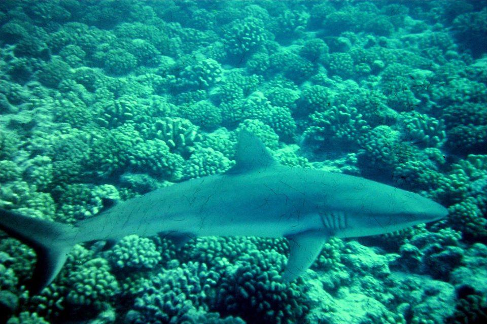 Polynésie requin vaki plongée inspiration